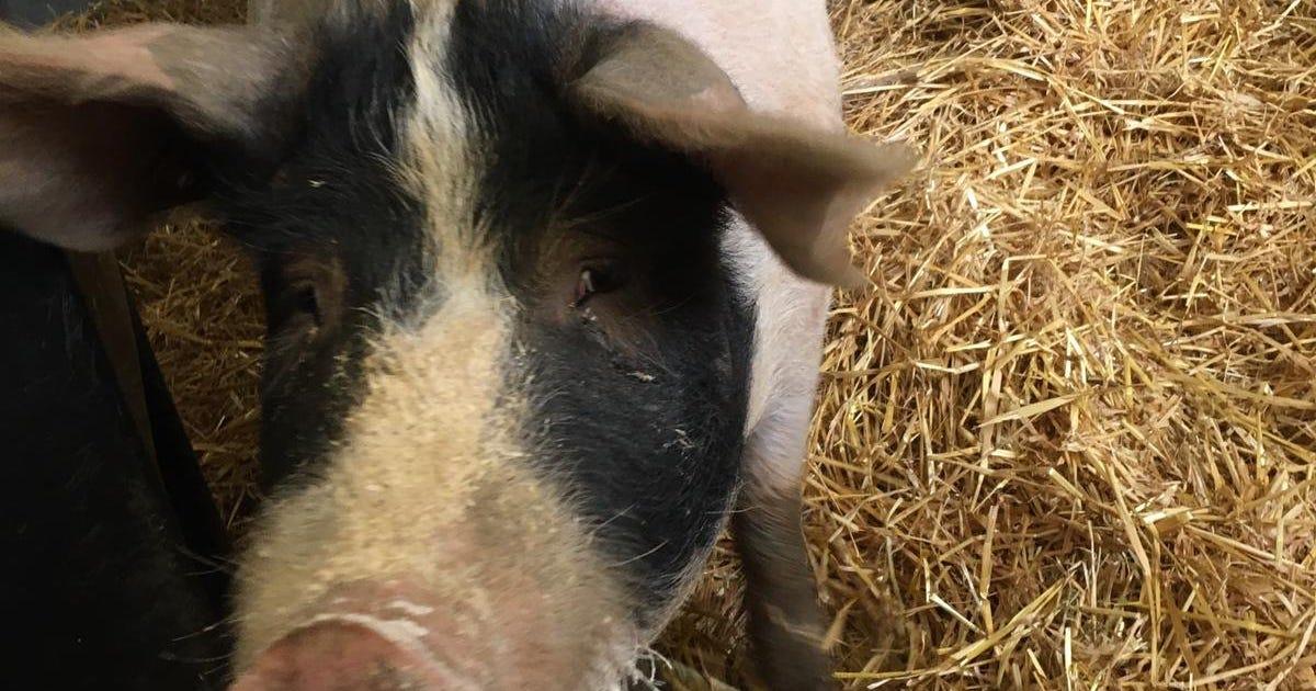 Schweineleasing
